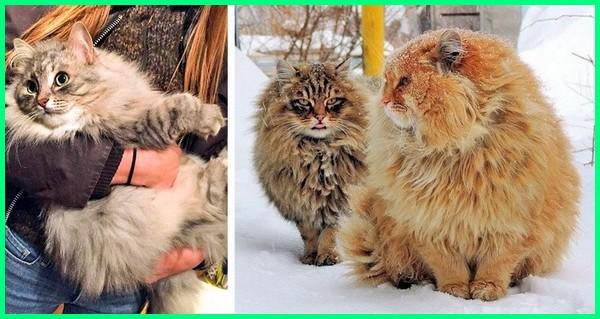 kucing siberian, kucing siberian olx, kucing siberian untuk dijual, kucing siberian indonesia, kucing hutan siberia, makanan kucing siberia, harga anakan kucing siberia, kucing baka siberian, harga kucing siberia di indonesia, kucing siberian forest, kucing jenis siberian
