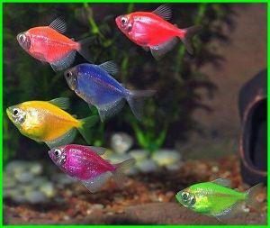 what is a glofish tetra, glofish electric green tetra, glofish long fin tetra, glofish neon tetra, glofish tetra glofish tetra care, glofish and tetra, yellow glofish tetra