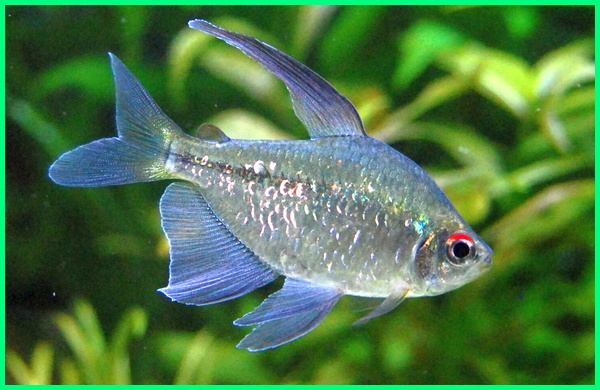 tentang ikan diamond tetra, diamond tetra fish with discus tank mates tetrahedral aggressive for sale structure breeding school neon and guppies australia