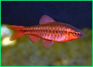 the cherry barb, the cherry barbs, betta and cherry barbs, cherry barb community tank, cherry barb community fish, cherry barb guide, cherry barb habitat, cherry barb lifespan, longfin cherry barb