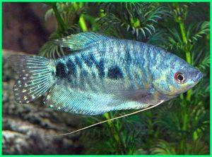 sepat hias harga, ikan sepat hias, membedakan ikan sepat hias jantan dan betina, perbedaan ikan sepat hias jantan dan betina, jenis sepat hias, ikan sepat hias kuning, ternak sepat hias
