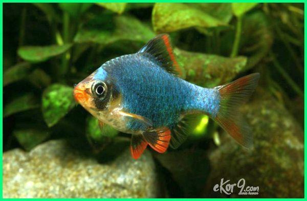 ikan sumatra green, ikan sumatra green balloon, ikan hias sumatra hijau, ikan green tiger barb, jual ikan green tiger barb