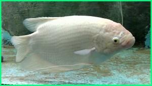 ikan gurame albino, ikan gurami putih, ikan gurame putih, ikan gurame aquarium, ikan gurame dalam akuarium, makanan ikan gurame aquarium, ikan gurame padang aquarium, ikan gurame padang di aquarium, pembesaran ikan gurame di akuarium, memelihara ikan gurame di aquarium, pelihara ikan gurame di akuarium, ikan gurame di aquarium, budidaya ikan gurame aquarium, budidaya ikan gurame di akuarium, ikan gurame di akuarium, pembesaran ikan gurame di aquarium