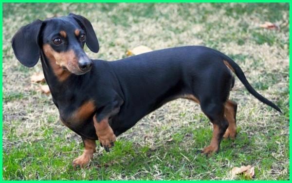 10 jenis anjing kecil lucu, macam jenis anjing kecil yang paling lucu, nama anjing kecil yang lucu, ras anjing kecil dan lucu, anjing kecil yg lucu, jenis anjing kecil yg lucu, puisi tentang anjing kecil yang lucu