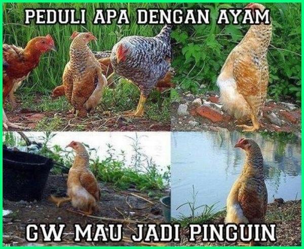 ayam lucu sekali, ayam pitik lucu, gambar ayam paling lucu, gambar lucu ayam teler, gambar ayam lucu unik, ayam warna lucu, ayam yg lucu, gambar ayam yang lucu, gambar ayam yg lucu