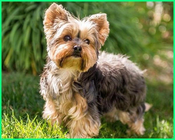nama anjing kecil yang lucu, ras anjing kecil dan lucu, anjing kecil yg lucu, jenis anjing kecil yg lucu, puisi tentang anjing kecil yang lucu, 10 jenis anjing kecil lucu