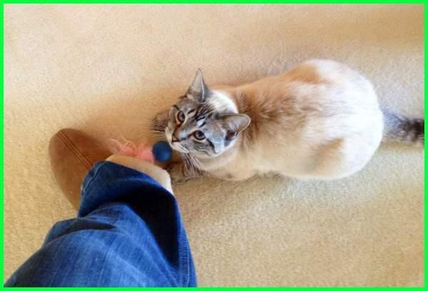 kenapa kucing mengikuti kita, kenapa kucing mengikuti kita terus, kenapa kucing mengikuti, apa arti kucing mengikuti kita, tanda kucing mengikuti kita, tanda kucing mengikuti terus, tanda kucing mengikuti, kenapa kucing selalu mengikuti kita, kenapa kucing selalu mengikuti majikannya, kenapa kucing selalu mengikuti, kenapa kucing liar mendekati kita