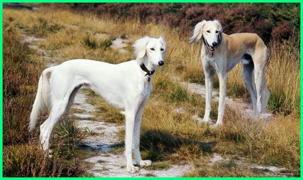 saluki dog, saluki adoption, a saluki dog, a saluki definition, a saluki breed, adopt a saluki, owning a saluki, saluki charakter, saluki dog breed, saluki dubai