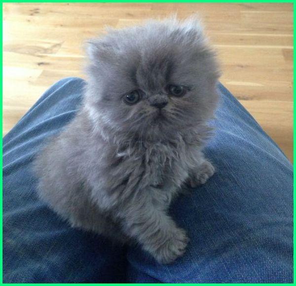 Unduh 95+  Gambar Kucing Persia Peaknose Lucu HD