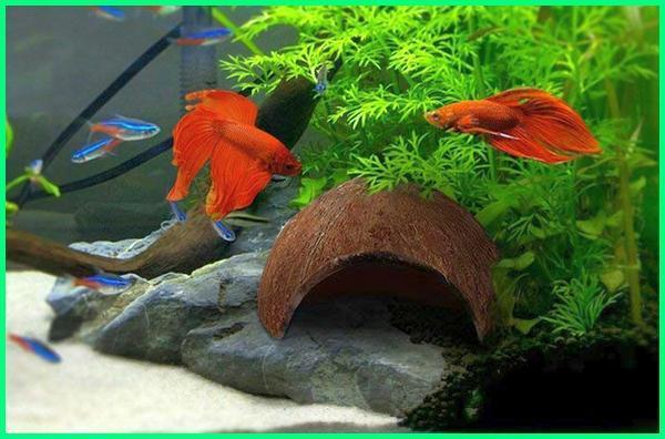 ikan cupang dicampur ikan hias, bolehkah ikan cupang dicampur dengan ikan lain, cupang dicampur ikan lain, cupang dicampur, cupang dicampur koi, cupang dicampur udang, cupang dicampur koki, ikan cupang campuran, ikan cupang dicampur guppy, ikan cupang dicampur, ikan cupang dicampur ikan koki, ikan cupang dicampur ikan neon, ikan cupang dicampur ikan lain, cupang dicampur guppy, cupang campur guppy, ikan cupang dicampur ikan hias