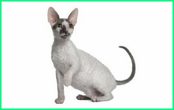 jenis jenis kucing kecil, jenis kucing peliharaan kecil, jenis kucing ras kecil, jenis kucing kecil yang lucu