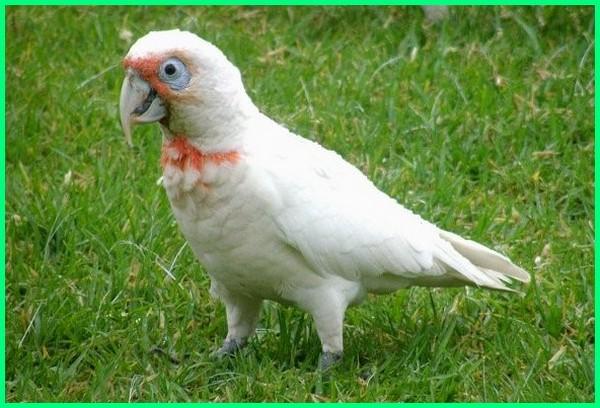apa jenis makanan burung kakatua, apakah semua jenis burung nuri bisa bicara, berapa jenis burung kakak tua, ada berapa jenis burung kakatua, ada berapa jenis burung nuri, ada berapa jenis burung nuri di indonesia