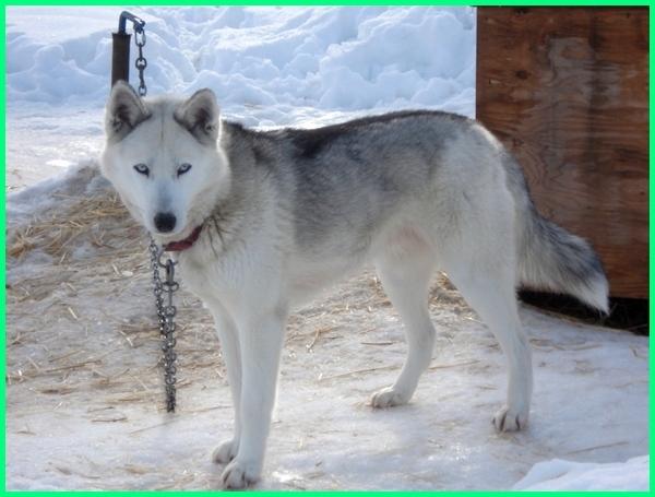 anjing bentuk serigala, anjing serigala di amerika, anjing berburu serigala, anjing berupa serigala, anjing campuran serigala, anjing yang mirip dengan serigala, foto anjing yang mirip serigala, gambar anjing yang mirip serigala, anjing hibrida serigala