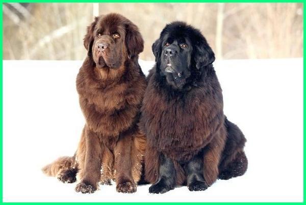 jenis anjing dan gambarnya, jenis anjing besar, jenis anjing peliharaan, jenis anjing penjaga, jenis anjing anjing, jenis anjing dan harganya