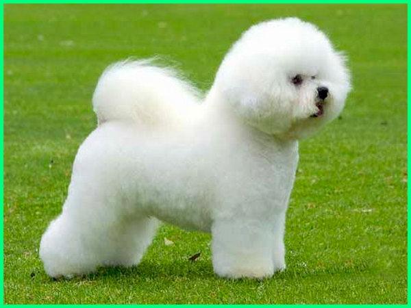 jenis anjing kecil berbulu tebal, jenis anjing lucu kecil, jenis anjing lucu berbulu lebat
