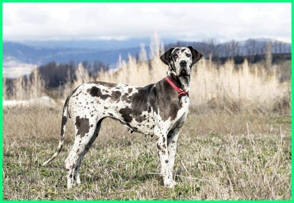 jenis anjing penjaga terbaik, anjing scooby dooby doo, ras anjing scooby doo, gambar anjing scooby doo, tipe anjing scooby doo, anjing scooby doo jenis apa, anjing scooby doo asli, nama jenis anjing scooby doo