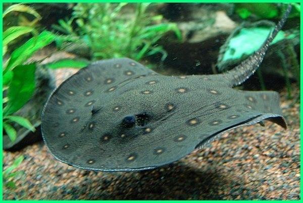 jenis ikan air payau, jenis ikan air payau dan gambarnya, jenis ikan air payau dan nama latinnya, jenis ikan air payau yang dapat dikonsumsi, jenis ikan air payau yang bisa dikonsumsi, kumpulan ikan air payau, ikan laut air payau, nama ikan air payau