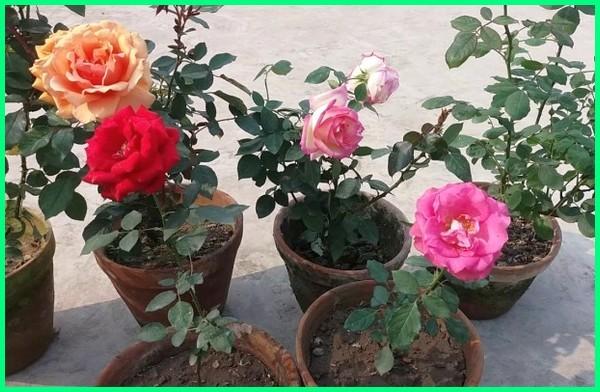 tanam bunga potong, bunga tanam pot, jenis tanaman bunga potong, gambar tanaman bunga di pot, tanaman bunga mawar di pot, macam tanaman bunga dalam pot, macam tanaman bunga di pot