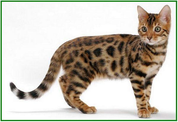 kucing bengal asli, ciri kucing bengal asli, kucing bengal coklat, kucing bengal cat, warna kucing bengal favorit
