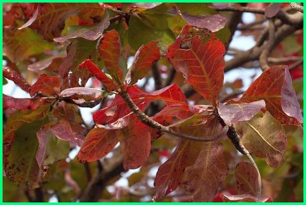 gambar daun ketapang untuk cupang