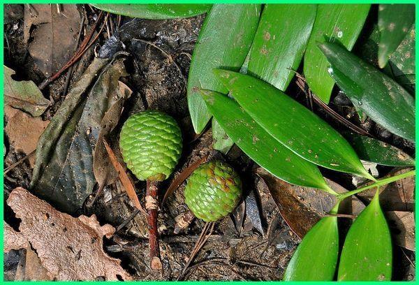 tanaman pohon damar, jenis flora dan fauna di indonesia, jenis flora dan fauna, jenis flora dan fauna di kepulauan indonesia, jenis flora dan fauna beserta penjelasannya, apa saja flora dan fauna di pulau bali, apa saja flora dan fauna di pulau jawa