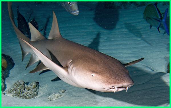 Hiu Perawat, Nurse shark, Ginglymostoma cirratum, ikan hiu yang boleh dimakan, ikan hiu yang boleh dikonsumsi