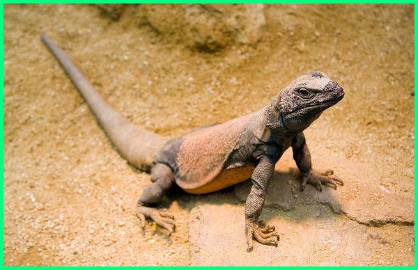 jenis jenis kadal di dunia, macam dan jenis kadal, gambar gambar jenis jenis kadal, jenis jenis kadal hias, jenis jenis hewan kadal, macam macam hewan kadal, macam macam kadal peliharaan, jenis jenis reptil kadal, jenis jenis kadal peliharaan, kadal mirip bunglon dan iguana