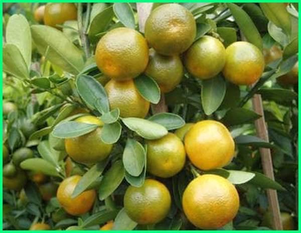 jenis jeruk yang dibudidayakan di indonesia, jenis jeruk yang ada di indonesia, jenis jenis jeruk di indonesia, jenis jenis jeruk indonesia, jenis jeruk lokal indonesia