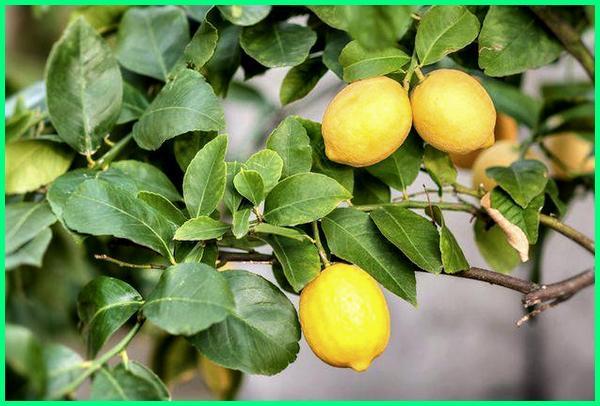 jenis buah jeruk di indonesia