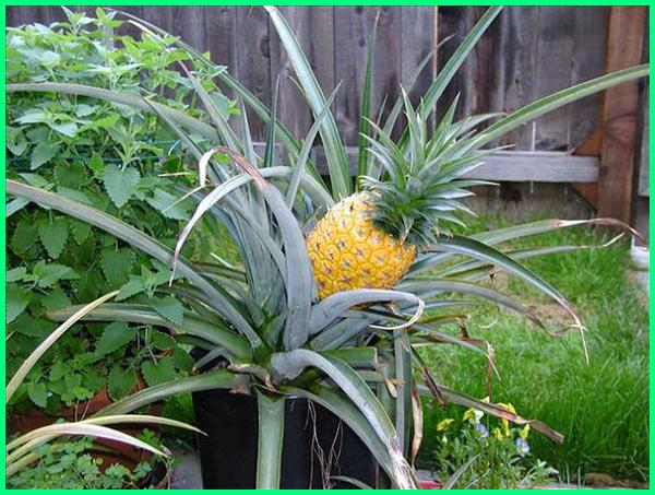 tanaman nanas di pot, pohon buah nanas di pot, tanaman buah potensial, tanaman buah yang bisa di pot, tanaman buah yang cocok di pot, jenis tanaman buah yang cocok di pot, gambar tanaman buah dalam pot, gambar tanaman buah di pot, gambar tanaman buah dlm pot