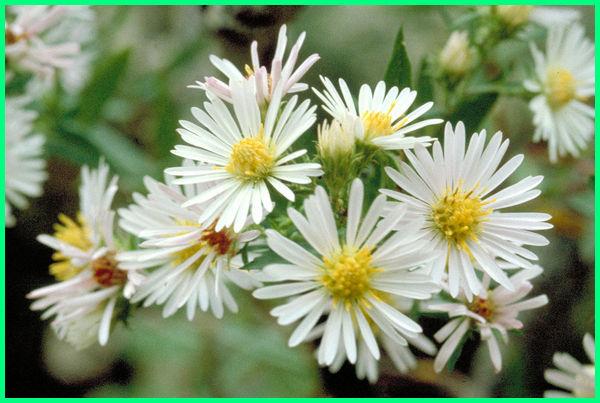 bunga aster artinya, bunga aster putih,gambar bunga aster putih, bunga aster hitam putih, bunga aster merah putih, bunga aster putih artinya, rangkaian bunga aster putih, arti bunga aster warna putih, pada bunga aster warna putih ditentukan oleh gen p