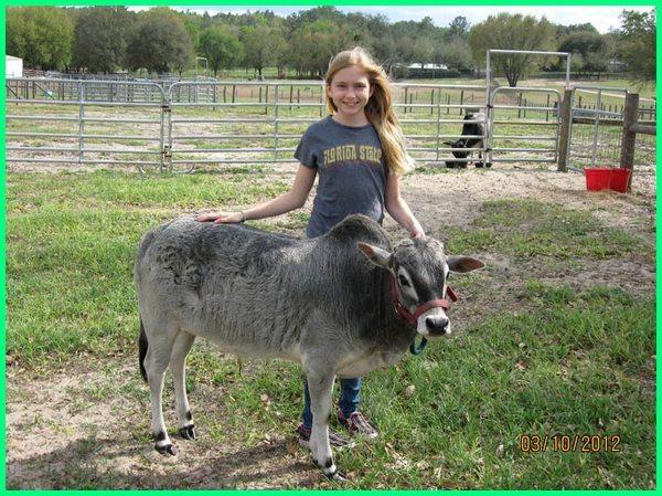 sapi paling kecil di dunia,sapi minimarket, sapi minimalis, peternak sapi kecil, sapi ter kecil, harga sapi ukuran kecil
