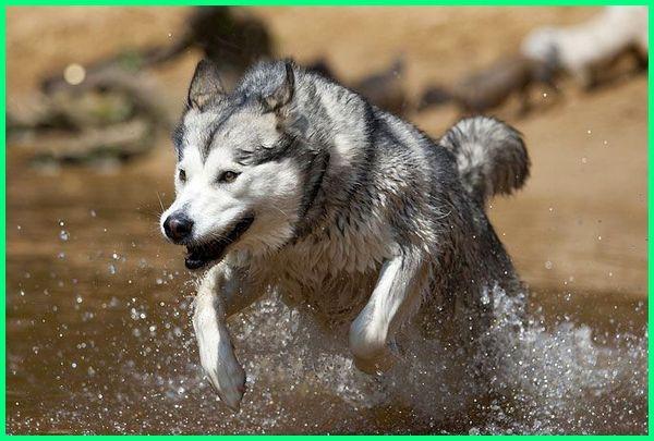anjing tergalak di dunia 2014-2019, gambar anjing tergalak, gambar anjing tergalak di dunia, 10 jenis anjing tergalak, nama anjing tergalak