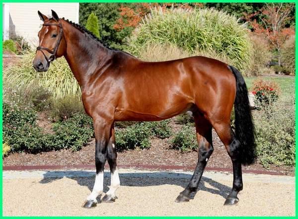 jenis ras kuda terbaik, jenis kuda unggulan, jenis warna kuda, jenis kuda yang paling bagus, jenis kuda yang ada di dunia