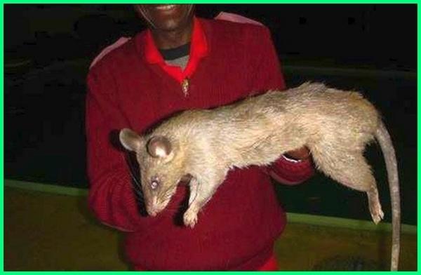 tikus besar di dunia memakan manusia, tikus terbesar di dunia memakan manusia, tikus besar namanya, tikus besar afrika, tikus terbesar dunia, gambar tikus besar, karakter tikus besar, tikus terbesar di dunia
