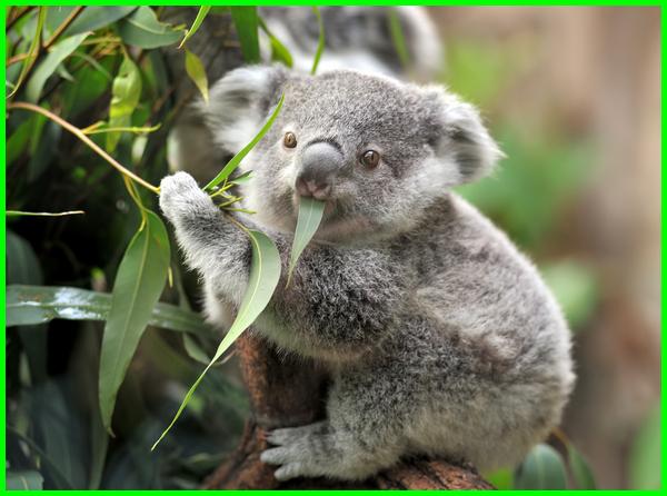 hewan koala lucu, hewan koala adalah, hewan koala khas dari negara, hewan koala no togel, hewan koala animal, koala hewan berkantung, australia hewan koala, deskripsi hewan koala bahasa, ciri hewan koala, hewan koala dan keterangannya