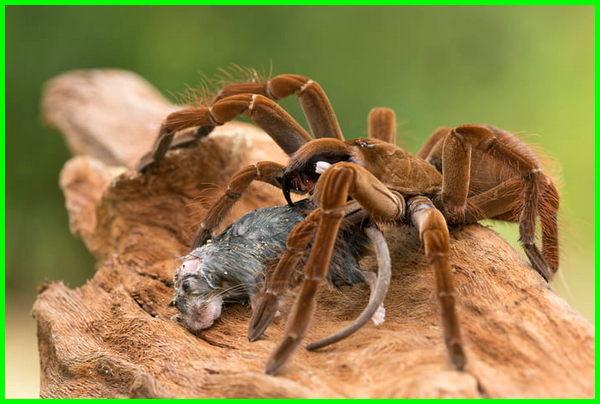 Laba-laba tarantula terbesar di dunia, laba laba termasuk hewan apa, laba laba termasuk arthropoda, fosil laba laba terbesar, laba laba tarantula terbesar di dunia, laba laba rumah terbesar, sarang laba-laba terbesar di dunia, laba laba tarantula terbesar