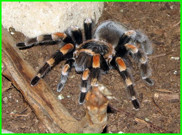 laba laba tarantula terbesar di dunia, laba laba tarantula raksasa, gambar laba laba tarantula, laba-laba atau tarantula, apa itu laba-laba tarantula, beda laba laba dan tarantula, ciri ciri laba laba tarantula