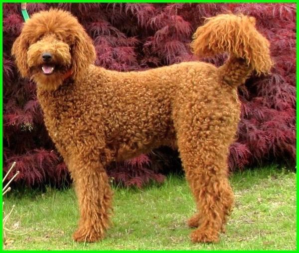 jual anjing bulu lebat, anjing lucu bulu lebat, cara agar bulu anjing lebat dan panjang, makanan agar bulu anjing lebat, cara agar bulu anjing lebat dan sehat, vitamin agar bulu anjing lebat