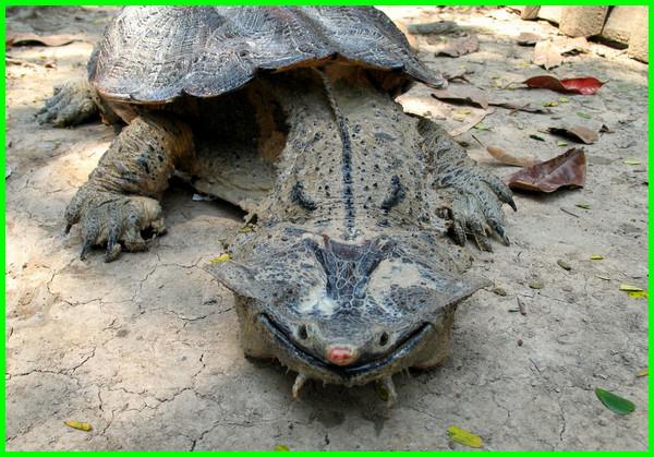 bahaya kura kura bagi manusia, bahaya bela kura kura, bahaya gigitan kura kura, bahaya memelihara kura kura, bahaya pelihara kura kura