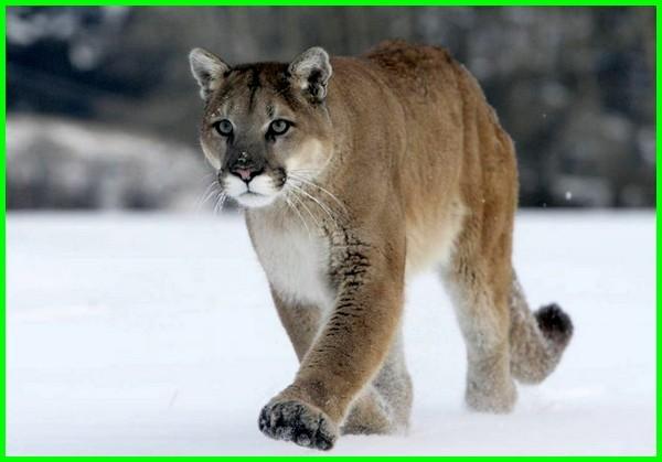 hewan khas amerika, hewan dari amerika, hewan endemik amerika, hewan khas benua amerika, hewan di benua amerika
