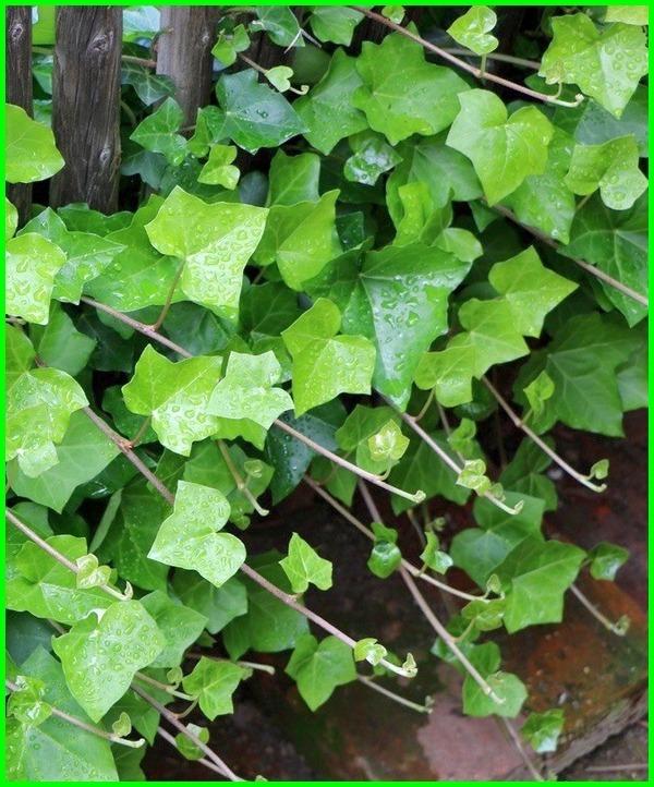 foto tanaman hias merambat, tanaman hias yang merambat di pagar, tanaman hias merambat untuk pagar, tanaman hias merambat untuk dinding, tanaman hias yang merambat, tanaman hias yg merambat, tanaman hias yang merambat di tembok