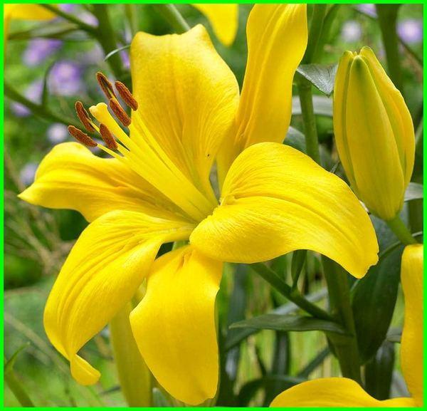 bunga lily kuning, bunga lily kuning melambangkan, bunga lily warna kuning