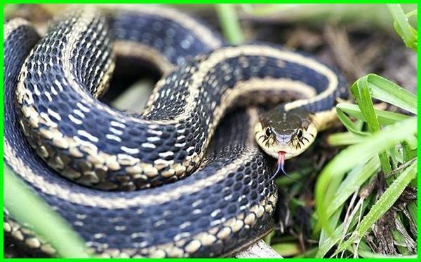 contoh hewan beranak dan bertelur, ular termasuk hewan beranak atau bertelur, ular hewan bertelur atau beranak, hewan bertelur dan beranak contohnya, hewan hewan beranak dan bertelur, hewan bertelur dan beranak disebut, hewan yg bertelur dan beranak disebut