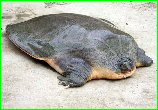 Bulus raksasa berwajah katak/ Cantor's Giant Softshell Turtle, hewan di kamboja, hewan endemik kamboja, hewan dari kamboja, hewan negara kamboja, nama hewan kamboja, nama hewan di kamboja, hewan khas dari kamboja