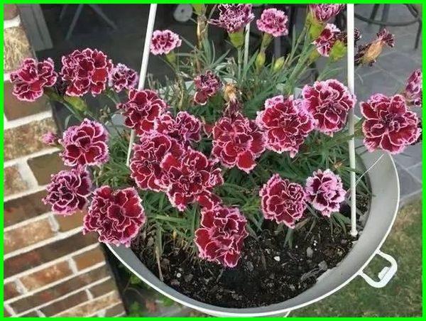 tanaman hias gantung yang indah, jenis tanaman gantung hias, katalog tanaman hias gantung, nama latin tanaman hias gantung, tanaman hias gantung merah, ragam tanaman hias gantung, tanaman hias gantung terbaik, tanaman hias untuk pot gantung
