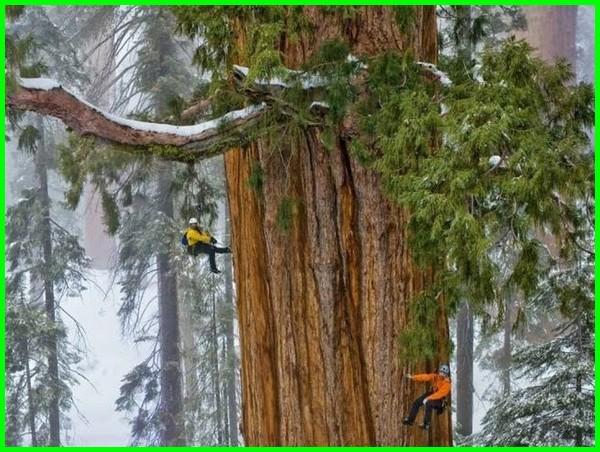 pohon terbesar di dunia, pohon terbesar adalah, foto pohon terbesar di dunia, foto pohon terbesar, gambar pohon terbesar di dunia, gambar pohon terbesar, hutan pohon terbesar, pohon terbesar jenis, pohon raksasa terbesar