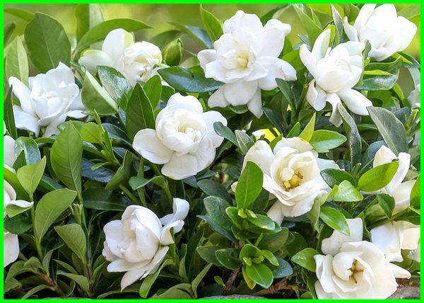 cara merawat bunga gardenia, cara budidaya bunga gardenia, cara tanam pohon gardenia, cara menanam bunga gardenia, cara membuat bunga gardenia dari pita satin, cara memperbanyak bunga gardenia, cara stek bunga gardenia