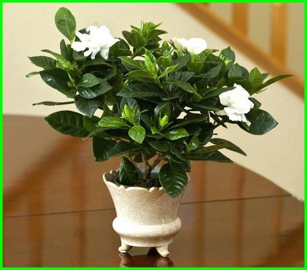 cara merawat bunga gardenia, cara menanam bunga gardenia, cara membuat bunga gardenia dari pita satin, cara memperbanyak bunga gardenia, cara stek bunga gardenia, cara membuat bunga gardenia, cara tanam bunga gardenia, cara perbanyakan bunga gardenia, cara budidaya bunga gardenia