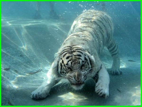 harimau putih marah, harimau putih berasal dari, harimau putih prabu siliwangi, harimau putih hd, harimau putih png, harimau putih siliwangi, harimau putih gaib, harimau putih vs singa, harimau putih vs harimau belang, harimau putih adalah
